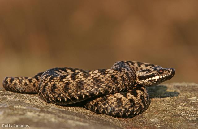 kígyó fogyás fogyás 35 font