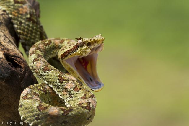 Kígyó fogyni.