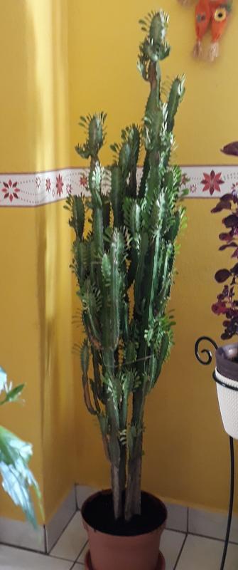 fogyás kaktusz