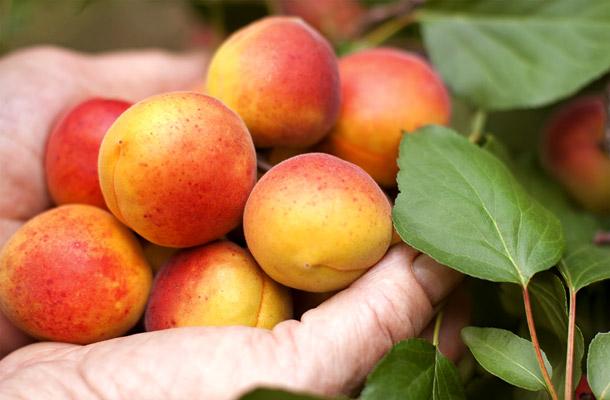 őszibarack-sárgabarack gyógynövény fogyókúrás tea